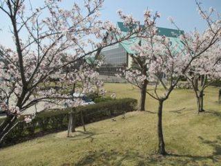 4月7日(土)、緑地公園桜まつりのお知らせ