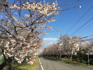 4月3日(水)宝のさくら開花情報