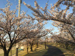 江川の桜満開!4月8日の様子を動画で